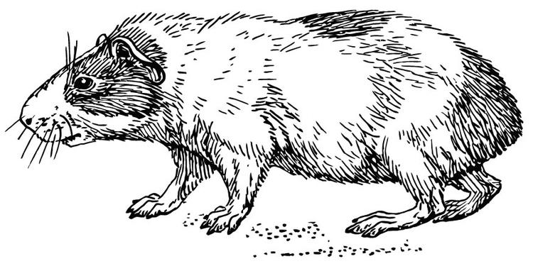 Hamster Kleurplaten M 229 Larbild Hamster Bild 15733