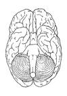 hjärnan, underifrån