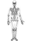 människoskelett