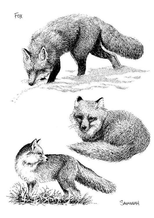Kleurplaat Fox M 229 Larbild R 195 164 V Bild 8568 Images