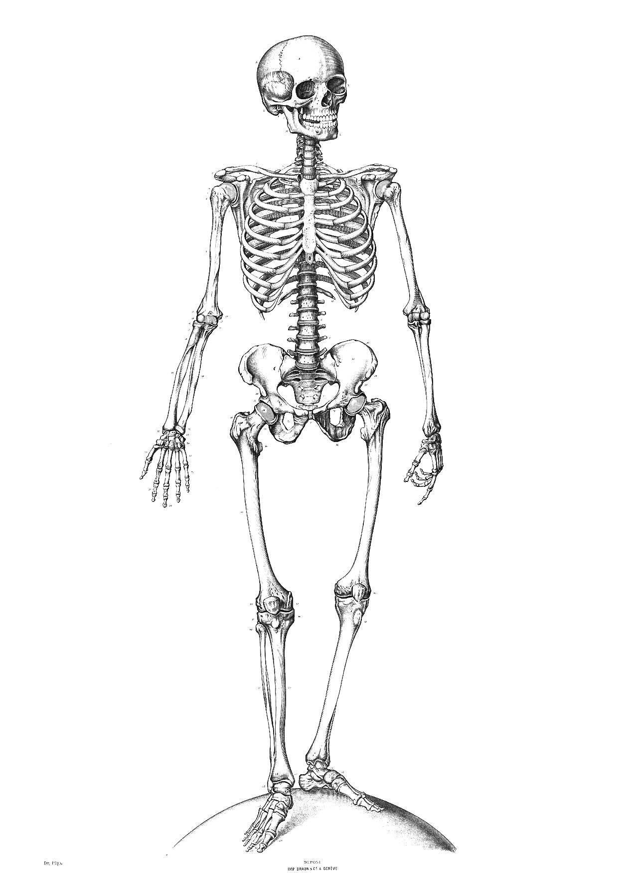 m u00e5larbild skelett