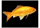 Foto guldfisk