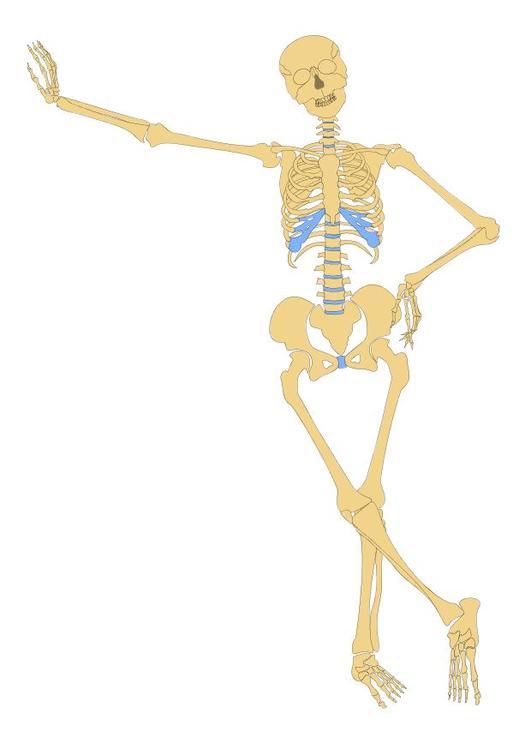 Bild skelett bild 10484 - Dessiner un squelette ...