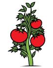 bild tomatplanta