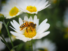 Foto bi på blomma