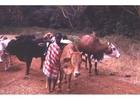 Foto fåraherde i Kenya