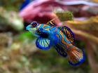 Foto fisk - Synchiropus spledidus
