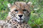 Foto gepard i bur
