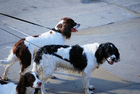 Foto hundar i koppel