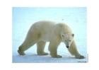 Foto isbjörn