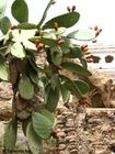 Foto kaktus med frukter