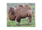 Foto kamel