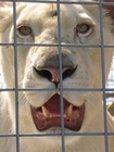 Foto lejon i bur