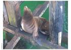 Foto sjölejon