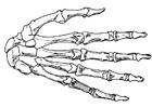 Målarbild hand - skelett