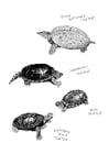 Målarbild havsköldpaddor