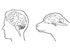 Målarbild hjärnan hos människa och fÃ¥r
