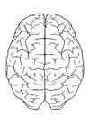 Målarbild hjärnan, ovanifrÃ¥n