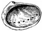 Målarbild snäcka - abalone