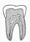 Målarbild tand i genomskärning