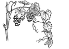 Målarbild vindruvor
